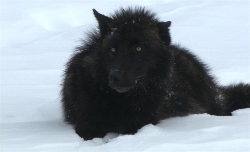Black-pup-on-cornice_thumb.jpg