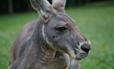 Kangaroo1_thumb.jpg
